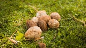 fresh coocnuts